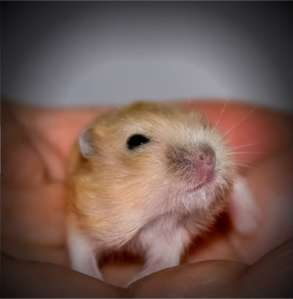 baby_hamsters_14