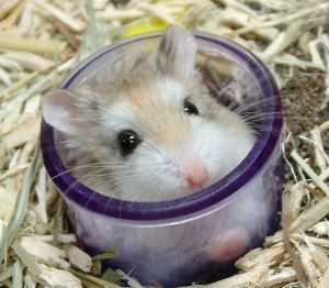 hamster_siria